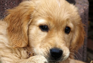 Best-male-female-Golden-Retriever-names