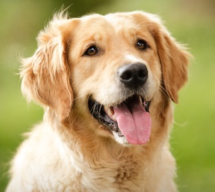 Golden retriever dog free articles videos pictures 2018 for Golden retriever puppies information