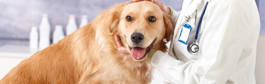 Tramadol for dogs 1 - golden retriever