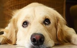 my dog ate chocolate - signs poisoning