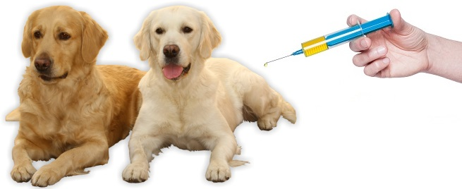 Tramadol For Dogs 2 Golden Retriever