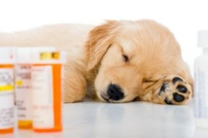 tramadol for dogs 3 - Golden retriever