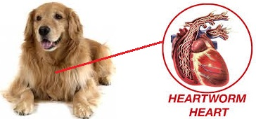 Heartworms in dogs : Symptoms, Treatment and Prevention