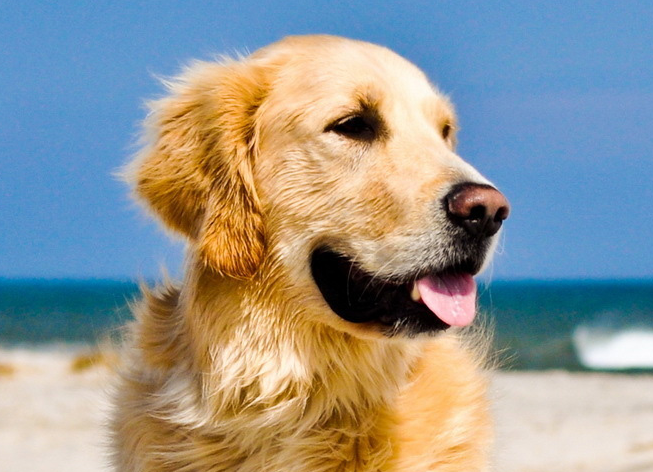 golden retriever ear infections golden retriever ear ... Ear Mites In Golden Retrievers