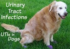 Urinary Tract Infection UTI : Causes, Dog Uti Symptoms And Treatement