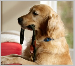 Collar to stop golden retriever barking