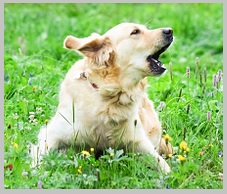 A golden retriever barking