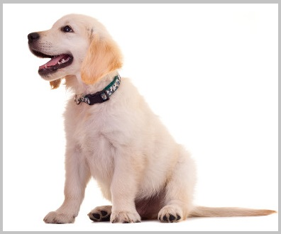 How to stop Golden retriever barking tips