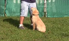 Training Golden Retriever Puppies - Timing