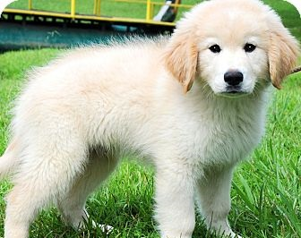 Golden Retriever Puppies For Adoption -