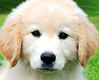 Golden retriever puppies adoption singapore