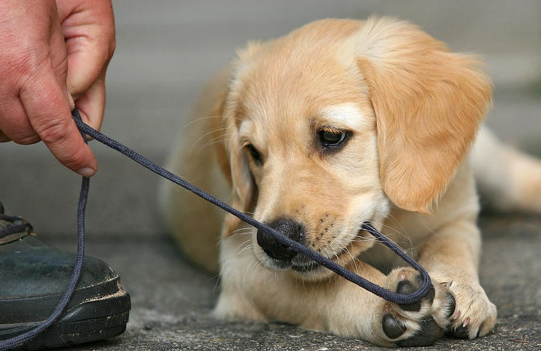 How To Stop a Dog From Chewing |Golden Retriever Experts