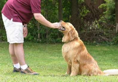 training a golden retriever important facts on golden retriever training golden 1443