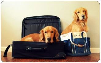 Airfare Travel Golden Retriever Checklist