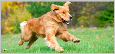 Characteristics of Golden Retrievers - 1