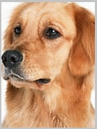 Characteristics of Golden Retrievers - Breed Lists