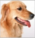 Characteristics of Golden Retrievers - Popular