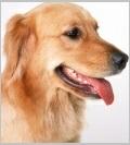 Characteristics of Golden Retrievers - Popular