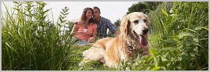 Golden Retriever Adoptions - Rescue