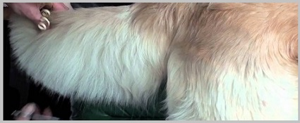 Golden Retriever Breed Standard - Coat