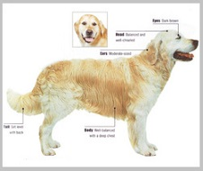 Golden Retriever Breed Standard - Head