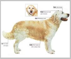 Golden Retriever Breed Standard - Head