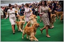 Golden Retriever In Westminster DOG Show
