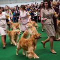 Enter Your Golden Retriever Into The Westminster DOG Show
