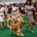 Enter Your Golden Retriever Into The Westminster DOG Show