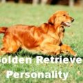 The Golden Retriever Personality