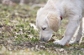 Golden Retriever Sniff Another dog Poop