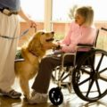 Golden Retriever Therapy Dogs