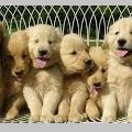 About Golden Retriever Breeder Alternatives