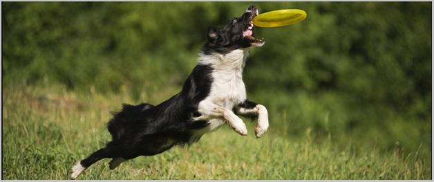 Golden Retrievers And Dog Breed Activities