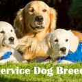 Golden Retrievers: One Of The Favorite Service Dog Breeds