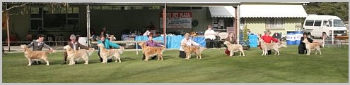 Golden retriever show