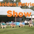 Finding a Golden Retriever Show