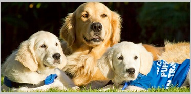 Golden retrievers - Service Dog Breeds 1