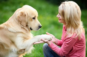 Good Golden retriever trainer