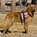 Working Golden Retriever Dogs