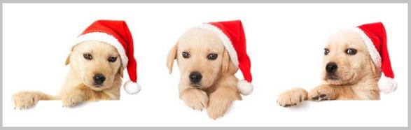Choosing a Golden Retriever Puppy -1