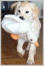 Choosing a Golden Retriever Puppy -hunting