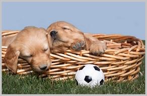 Choosing a Golden Retriever Puppy -male female