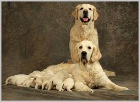Choosing a Golden Retriever Puppy - parents