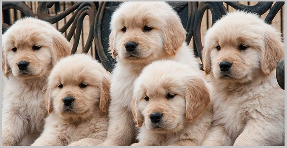 Finding Golden Retriever Puppies For Sale