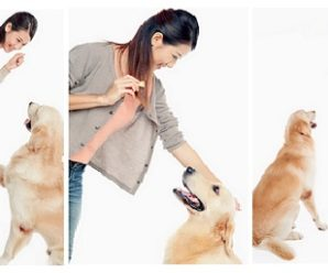 Golden Retriever Training Secrets