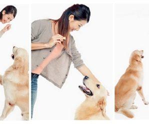 Golden Retriever Training Secrets