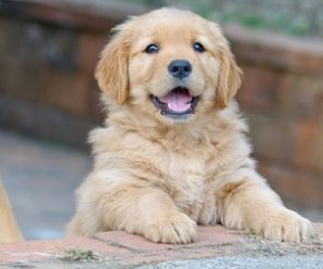 How To Find A Good Golden Retriever Forum