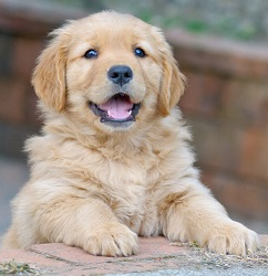 Golden Retriever dog Forum