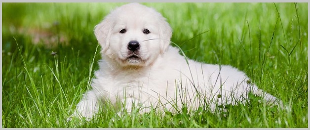Is Golden Retriever Adoption Right for You